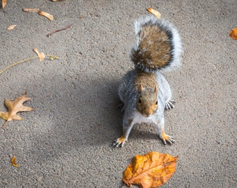 Squirrel in Fall - Photography Print
