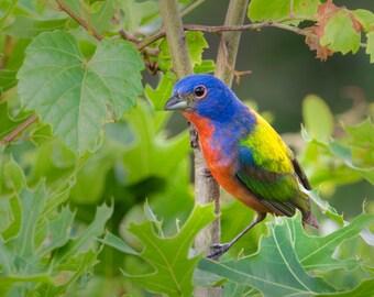 "Bird Print, Bird Photo, Painted Bunting, Texas Bird Print,Austin, Bird Art, ""Painted Bunting in a Tree"""