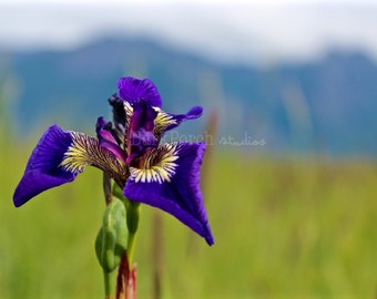 Purple wildflower; iris; Hope, Alaska; Travel Photography; Nature Photography; wall art; poster; bedroom; bathroom; living room; office
