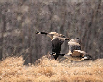 Canada Goose pair in flight (8 x 10 photo)