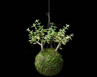 Kokedama Mini jade Plant, Crassula, Grove string of pearls plant, Wall flower, Moss, green String, Vertical Garden