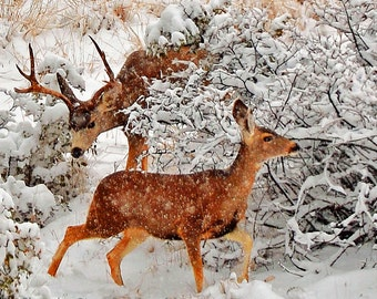 Western PhotographySD: Grant County, Wildlife Scenery, Hunting, Late Deer Rut, Wilderness, Winter, Southwest Mountains