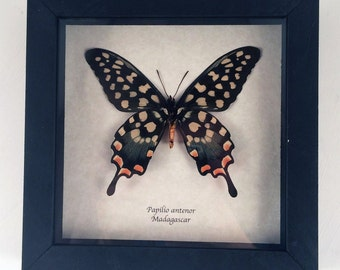 Real butterfly framed - Papilio antenor