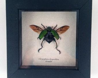 Real beetle framed - Chrysophora chrysochlora