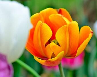 Day Dreamer - Tulip