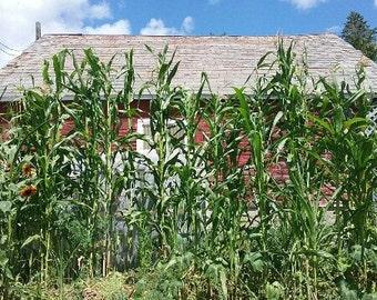Peruvian Giant White Corn 100ct