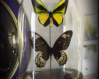 Vintage glass globe (rare) Butterfly couple