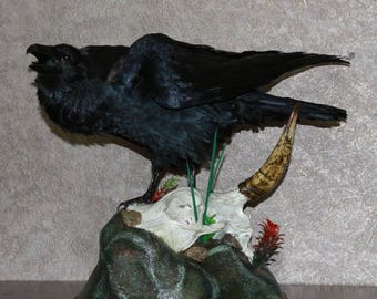 Northern Raven - Taxidermy Bird Mount, Stuffed Bird For Sale - Not Crow - ST3819