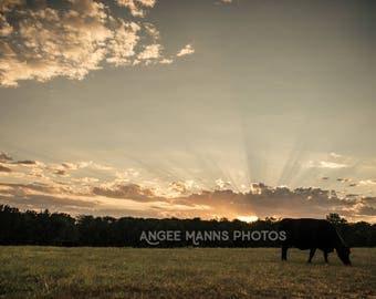 Cow Photograph, Farm Animal Photography, Farm Scene, Rustic Home Decor
