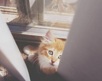 Orange tabby kitten cat photo photography print