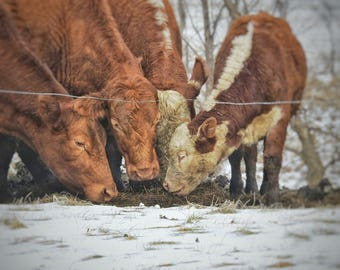 hungry cows