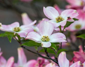 Flowers Dogwood Pink and White Canvas or Poster Wall Art