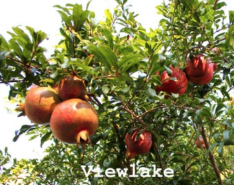 Cold Hardy Russian Pomegranate tree for fruits and flowers