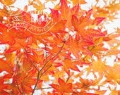 Flaming Fall Leaves - Digital Download - Cheerful and Bright Fine Art Photography
