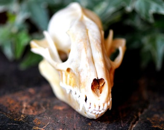 skull of a small animal for your artistic needs, cool vintage, photography prop, unique weird odd, animal nature Lf
