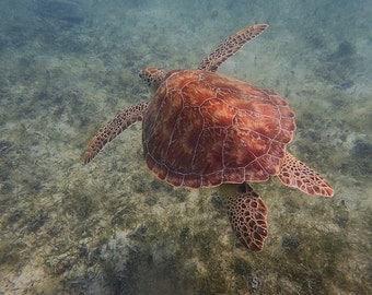 Sea Turtle Fine Art Print, Beach Wall Art, St John USVI, Tropical Decor, Carribean Photography, Travel Photography, Turquoise Home Decor
