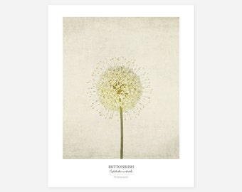 Buttonbush Original Art Print - Botanical Wall Art - Flower Poster - Large Botanical Print