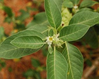 Ashwagandha Organic Seeds Indian Ginseng
