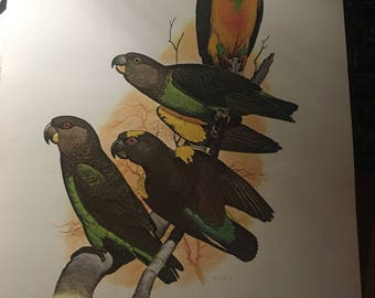 R. Upples parrot. Book page image print 9.5 x 12 approx. will look great when framed. Tropical feel immediately.