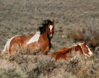 Wild mustang, wild horse, stallion, western art, oregon, wildlife photography, nature photography, equine art, horses, horse photograph