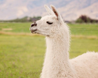 White Llama, Llama photography in color