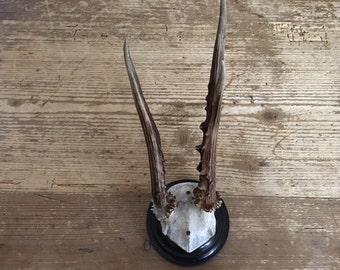 Roe Deer Antlers Trophy Mount Skull