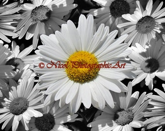 White Yellow Daisy Flower Black White Daisy Flower Wall Art Matted Picture A197