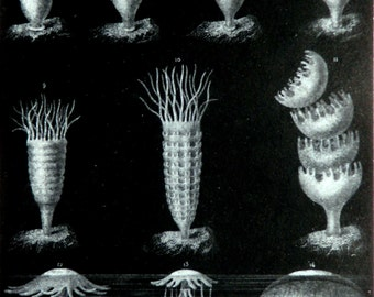 1882 Antique lithograph of JELLYFISHES: JELLYFISH DEVELOPMENT. Jellies. Jelly. Sea Life. Marine Animals. 135 years old gorgeous print