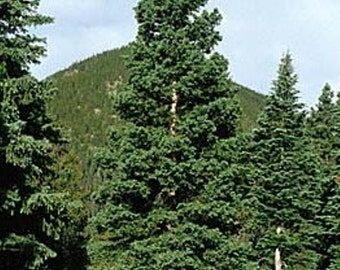 White Spruce Tree Seeds, Picea glauca - Lake States - 25 Seeds
