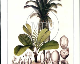 Botaniacl Illustration of Palm Tree