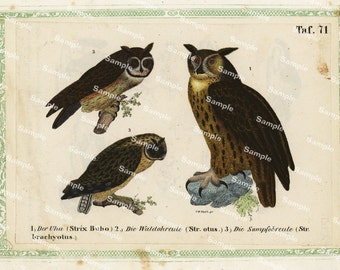 Natural History original hand colored print of owls over 150 years old Rare find
