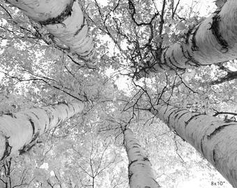 Birch Trees photo print, tree canopies wall art decor, black and white photography, paper or canvas picture 5x7 8x10 11x14 12x18 20x30 24x36