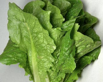 Jericho Romaine Lettuce, OP/Heirloom  50+ seeds