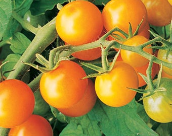 VTC) SUNGOLD CHERRY Tomato~Seeds!!!!!!~~~~~~Luscious!