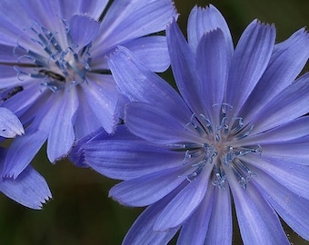 WF)~CHICORY~Seed!!!~~~~~~~Electric Blue Wildflower!!