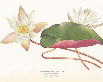 Mary E. Eaton's Sweet-Scented White Water Lily (Castalia odorata). Book Plate. National Geographic Magazine. 1925.