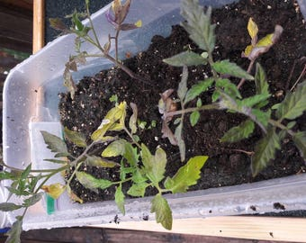 """2 Box Car Willie HEIRLOOM tomato plants 4"""" to 6"""" Priority 2 to 3 day shipping included"""