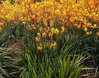 Green Yellow Kangaroo Paw, Tall Kangaroo Paw Flower, Albany Cat's Paw or Quoll's Paw or Yellow Kangaroo Paw Drought Hardy