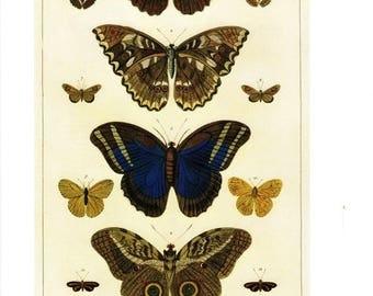 "50% Off Estate Sale Antique Nature Art, Vintage Re print Albertus Seba 18th Century, Butterflies, Zoology, Botany Illustration, 13.25"" x 9.5"