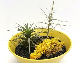 Decorative Airplant Kit Yellow Eco-Friendly Pot with 2 x Tillandsia + Fertiliser