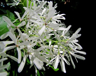 WHITE FRINGE TREE - Chionanthus virginicus
