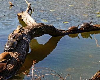Sunning Turtles Instant Photo Download, Insta-Photo, Animal Photography, Wild, Turtle, Log, Basking, Reptiles, Pond, Lake