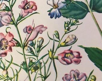 Purple Gerardia, Gerardia purpurea and Blue-Eyed Mary, Collinsia verna, Vintage illustration flower print wildflower