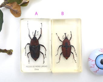Real insect taxidermy, entomology taxidermy, taxidermy, real beetle, insect taxidermy