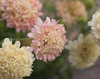 Bluushing Pink/Yellow Scabiosa Flower Seeds / Atropurpurea / Annual 25+