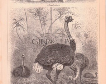 Antique Bird Print - Double sided Ostrich Lithograph from 1890