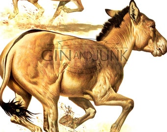 Colourful Vintage Horse, donkey, ass  Print - 1970s African Wild Ass illustration