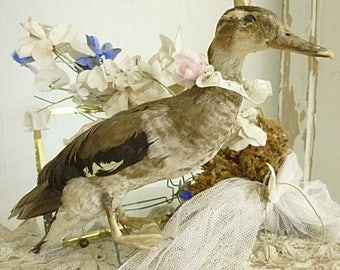 Amazing pretty wild duck, real taxidermy, unusually small and slender, she has been in our collection for many years....CHARMANT!