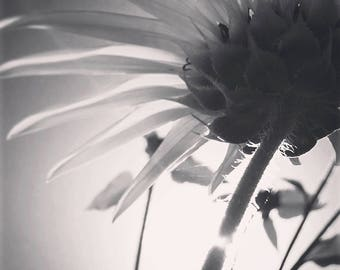 "Black and white original image of daisy from a different perspective. Digital file 12x12 300dpi printable home decor ""DAISY UPSIDE DOWN"""