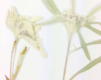 Dried Pressed Edelweiss/ Flowers / Botanicals.